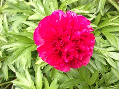 carnation(1.0), annual plant(1.0), flower(1.0), plant(1.0), peony(1.0), petal(1.0),