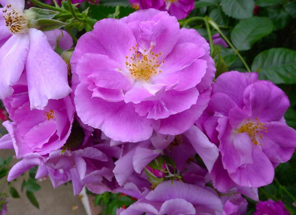 Rhapsody in Blue:Rose:玫瑰花