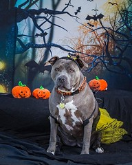 Another pawsome pic from Tracy Allard at @pennywhistlephotography  I'm ready for treats but not so much for tricks.  @coppellfarmersmarket #halloween #pennywhistlephotography #coppellfarmersmarket #coppelltx #bonnie_blue_staffy #bonnie_blue_bullie #staffy