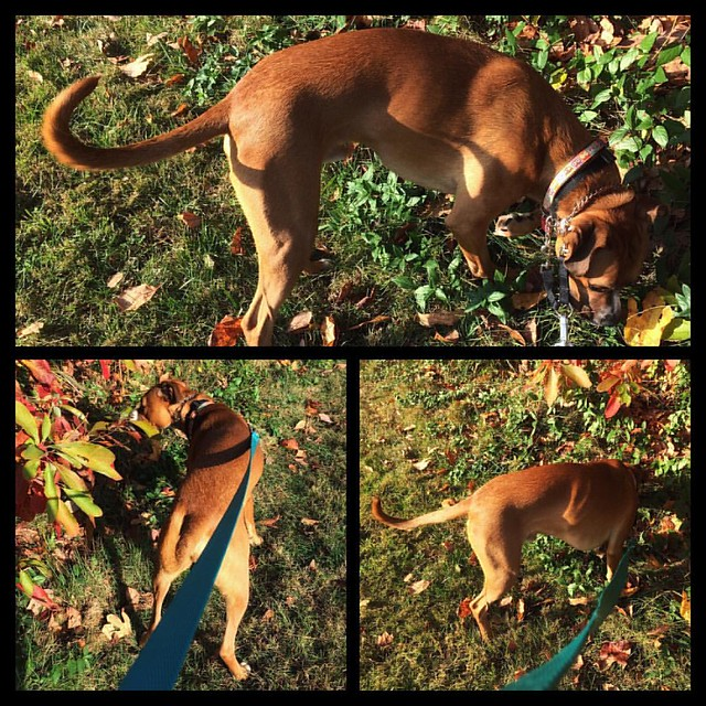 Little Red Dog and Sassafras #dogs #boxerdog #sassafras #fall #autumn