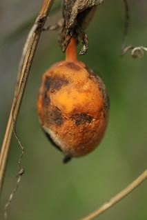 dead passionfruit
