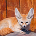 Fennec lying in the sun