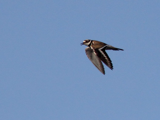 Killdeer in flight 20120410
