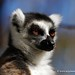 Madagascar - Ring-tailed lemur