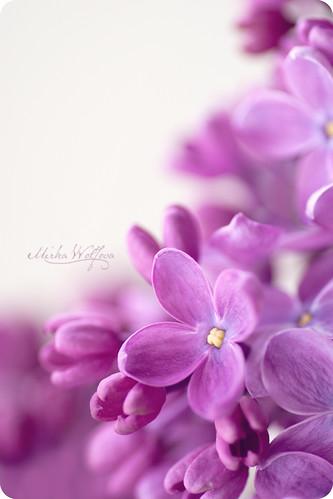 - Lilac -