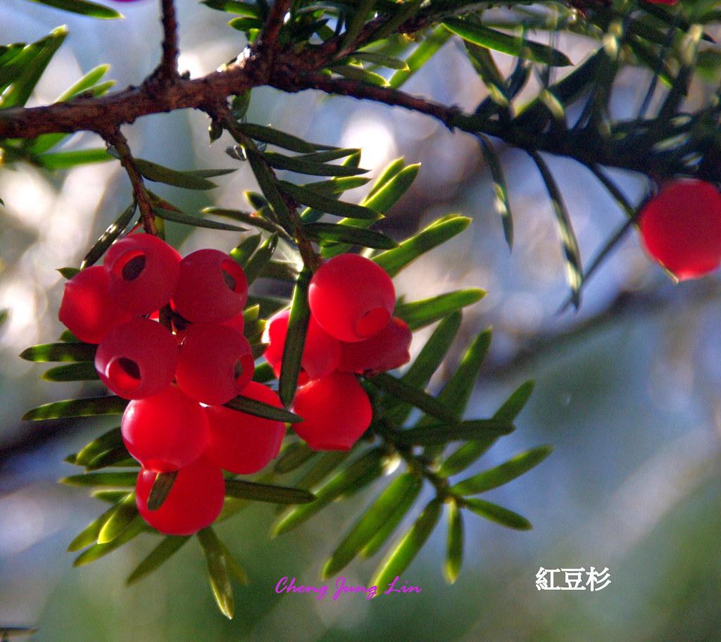 紅豆杉果實