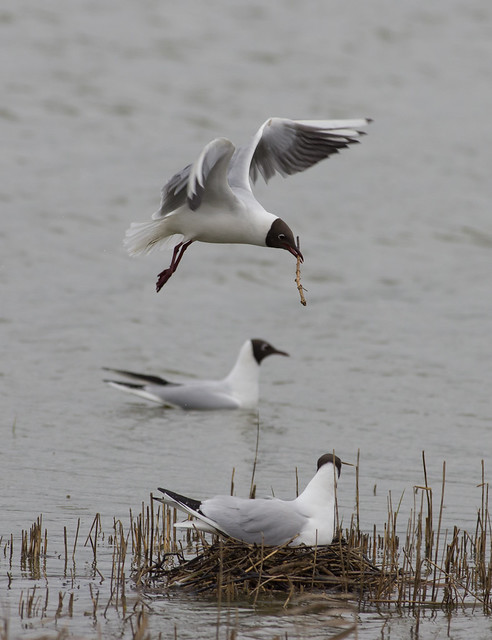 Black headed gulls 3
