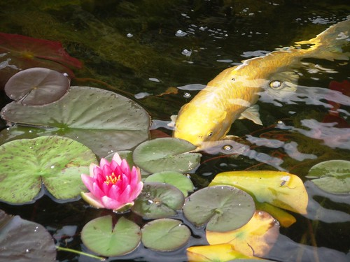 yellow koi (3)
