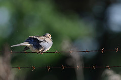 Dove Danderuff_8143.jpg by Mully410 * Images