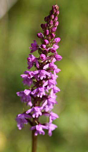 Gymnadenia conopsea - Chalk Fragrant-orchid