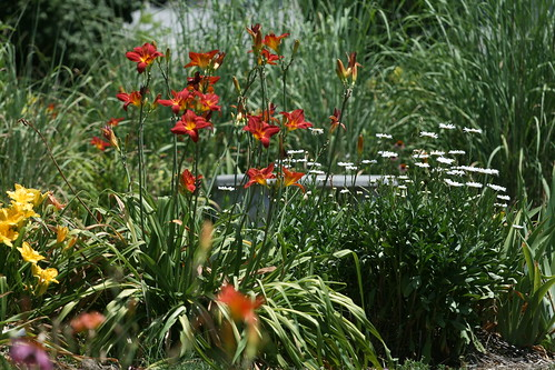 Hemerocallis 'Red Hawk'