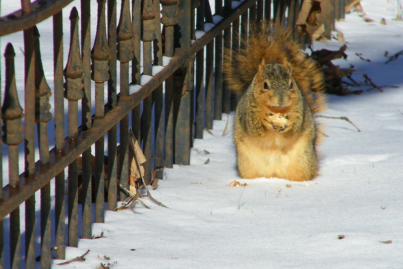 Squirrel at the University of Michigan on a very cold Winter Day (January 24, 2013)