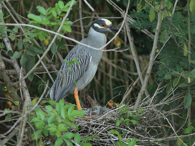 Yellow-crowned Night-Heron 22-HT female with nestling 20130519