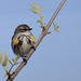 Yellow rumped warbler by Phiddy1