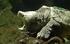 Happy World Turtle Day - Alligator Snapping Turtle