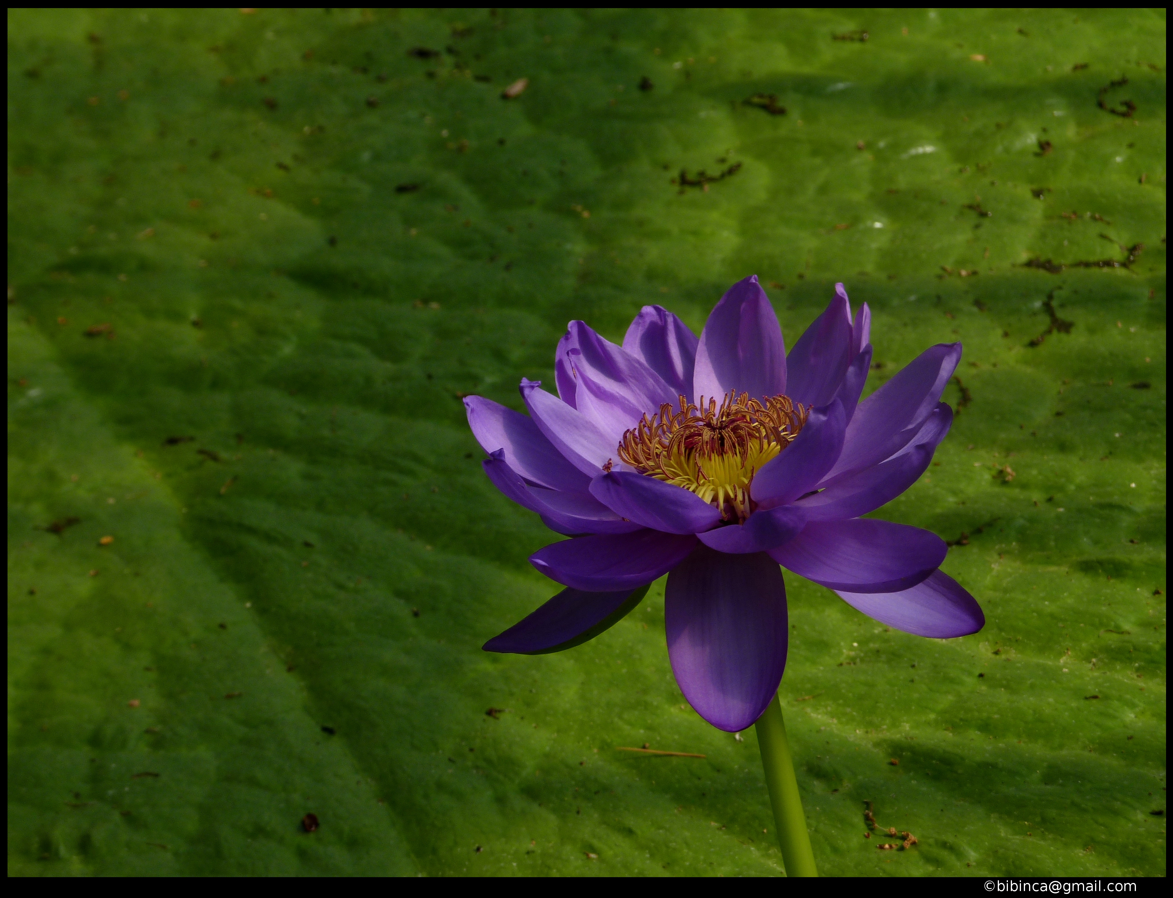 Flower - Water Lily | Blue Water Lily, from Water Lily ...