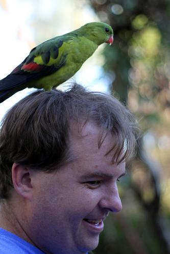 Regent Parrot on Mike's Head