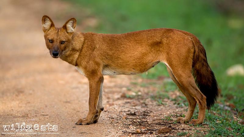 Mamma Wild Dog