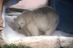 Eisbär Flocke 2013_06_09