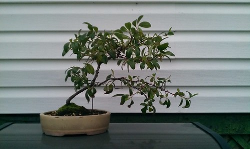 Young Cotoneaster 9036597497_3e2870598b