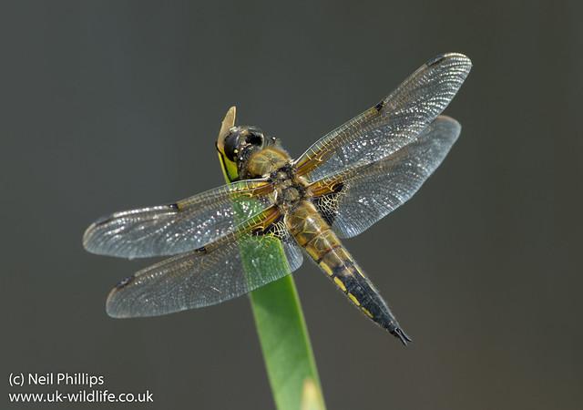 4 spot chaser libellula quadrimaculata