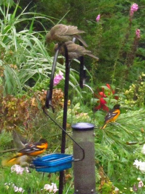Orioles and cowbirds1 7:1:13