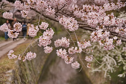 【写真】2013 桜 : 哲学の道/2018-12-24/IMGP9211