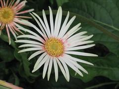 非洲菊(扶郎花) Gerbera jamesonii [香港動植物公園 Hong Kong Botanical Garden]