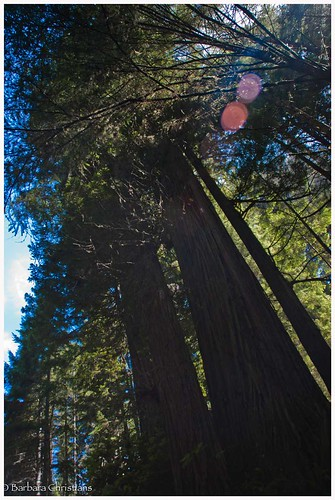 Redwoods-091