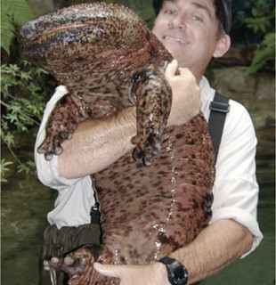 a-chinese-giant-salamander