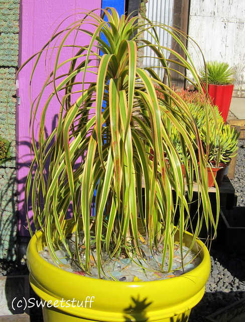 Variegated Pony Tail Palm