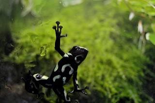 Green-and-Black Poison Frog (Dendrobates auratus)_DSC0713