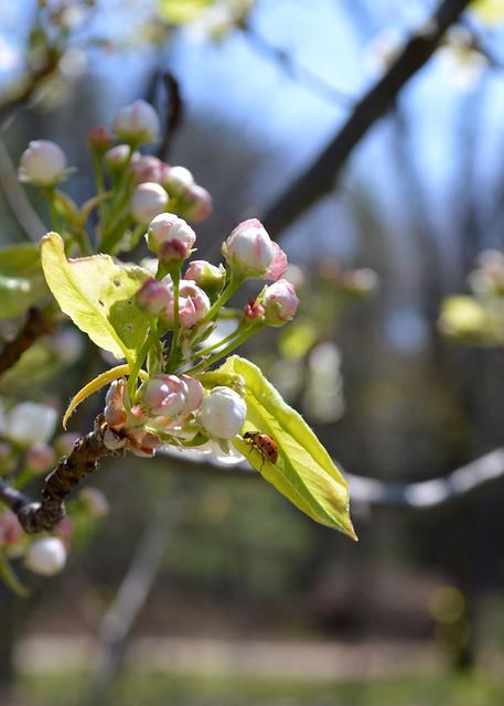 Ladybug and Blossoms