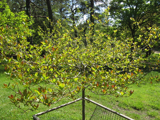 Nyssa sylvatica definition meaning for Gardening tools uckfield