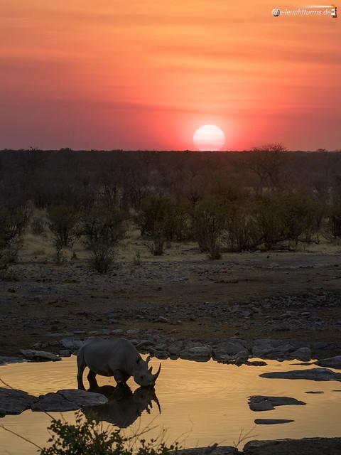 Black rhino under setting sun