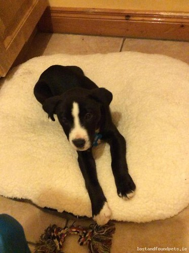 Fri, Nov 25th, 2016 Lost Male Dog - Annaglog, Ardee, Louth