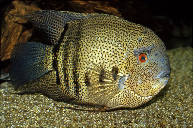 Male Banded Cichlid