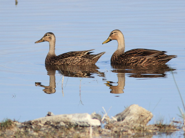 Mottled Ducks 2-20120411