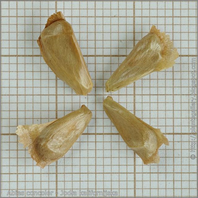 Abies concolor seeds - Jodła kalifornijska, jodła jednobarwna nasiona