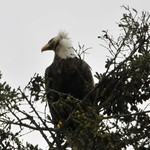 Eagle on nearby Spruce