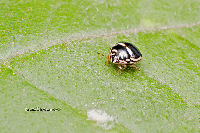 Unknown bug from Mt. Batulao
