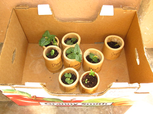bamboo pole pots in box