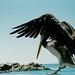 Pelícano aterrizando