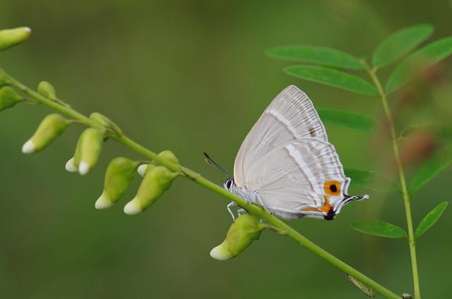 Favonius latifasciatus