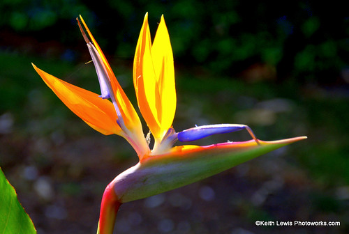 Bird of Paradise Afternoon