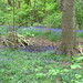 Bluebell walk / dzwonki