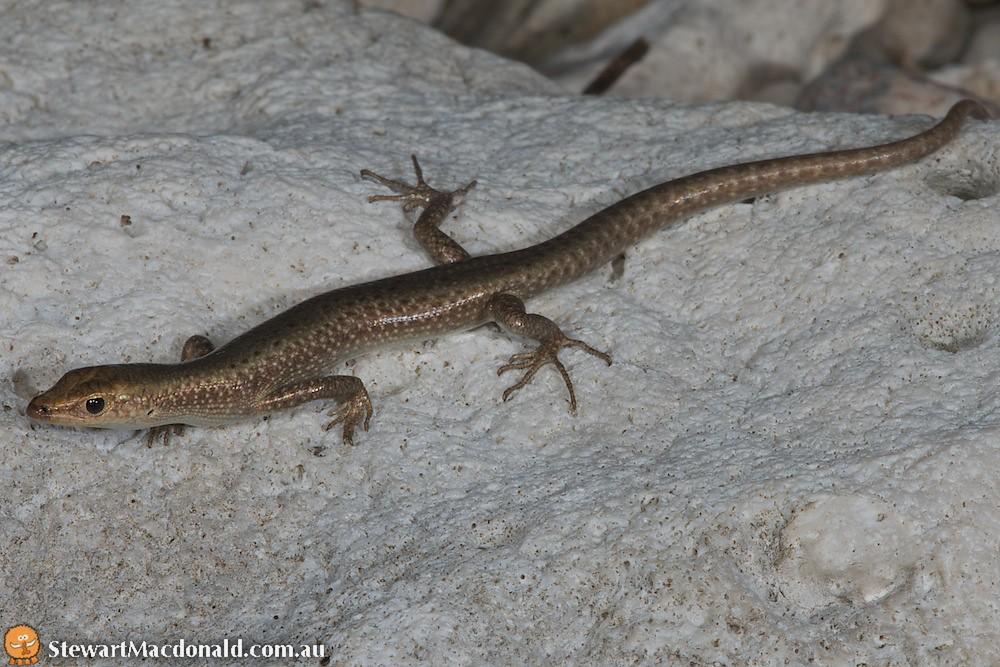 Litoral snake-eyed skink (Cryptoblepharus litoralis)