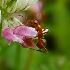 Ant on clover petals