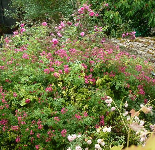 tous ces rosiers que l'on aime - floraisons 9033999513_1218e1ef1a