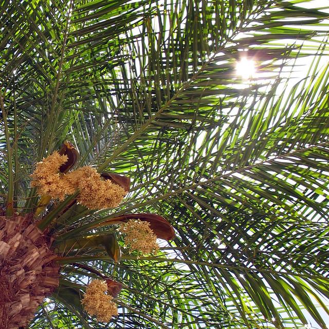 15 Dwarf Pygmy Date Palm